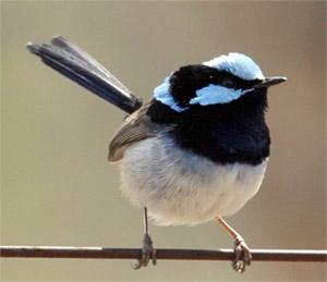 Keeping small birds in Glebe