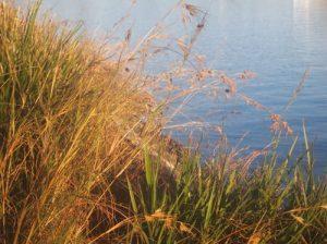 Kangaroo Grass (Themeda triandra), in Pope Paul VI Park at Glebe Point (photo: Asa Wahlquist)